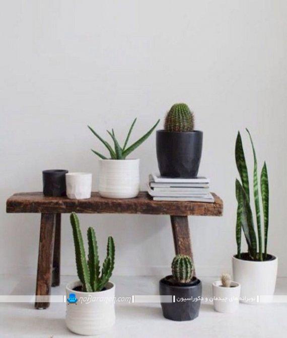 گیاهان آپارتمانی لوکس، گلهای آپارتمانی زیبا به شکل کاکتوس